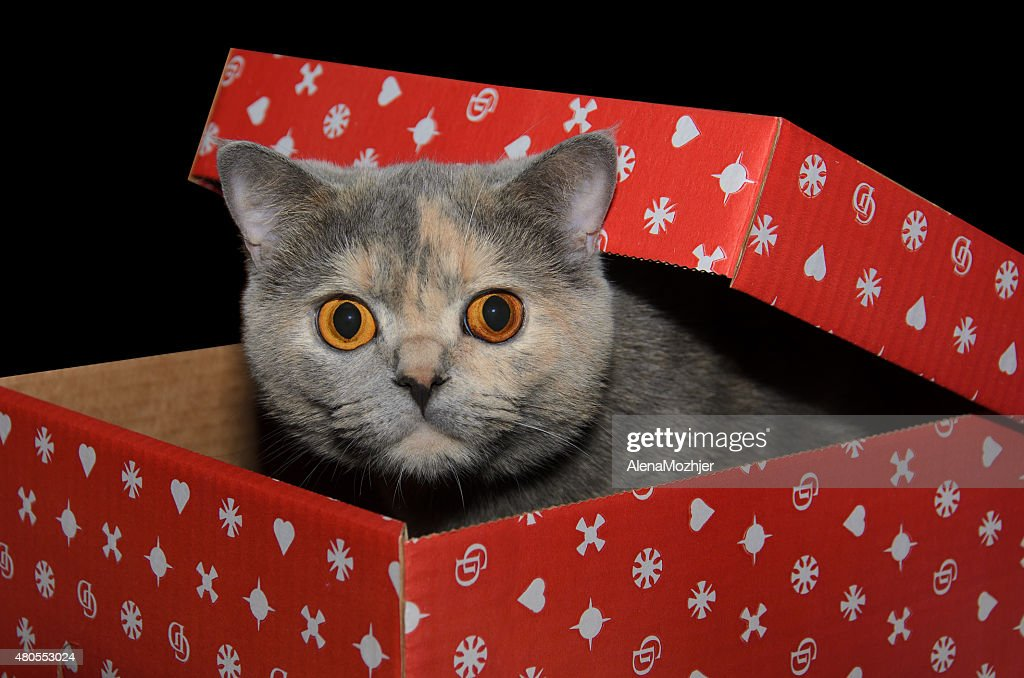 British cat in a red gift box : Stock Photo