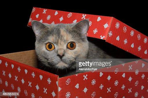 Gato britânico em um vermelho caixa de presente : Foto de stock