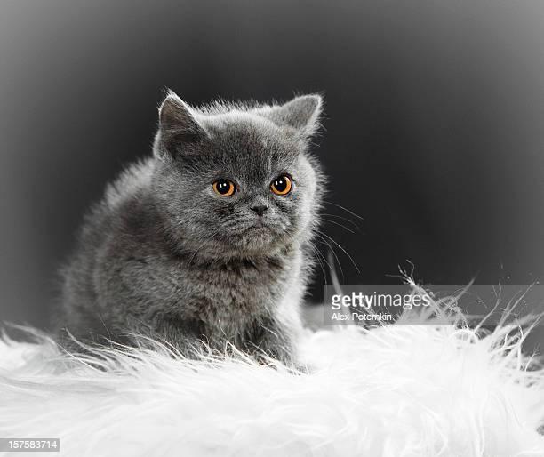 Britische Katze