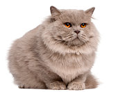 British Longhair cat, 2 years old, sitting in front of white background