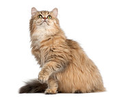 British Longhair cat, 4 months old, sitting against white background
