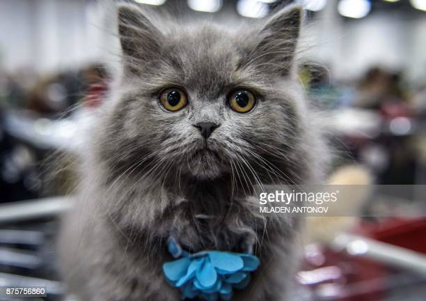 A British Longhair cat is seen during the 'Valencia Cup' international cat exhibition in Moscow on November 18 2017 / AFP PHOTO / Mladen ANTONOV
