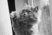 black and white picture of a British longhair cat