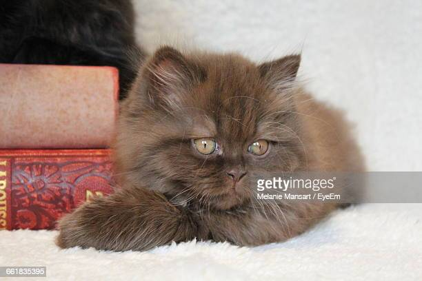 British Longhair Cat Sitting By Books At Home