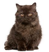 British Longhair kitten, 3 months, sitting in front of white background