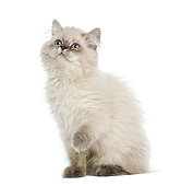 British Longhair kitten pawing up, looking up, 5 months old, isolated on white