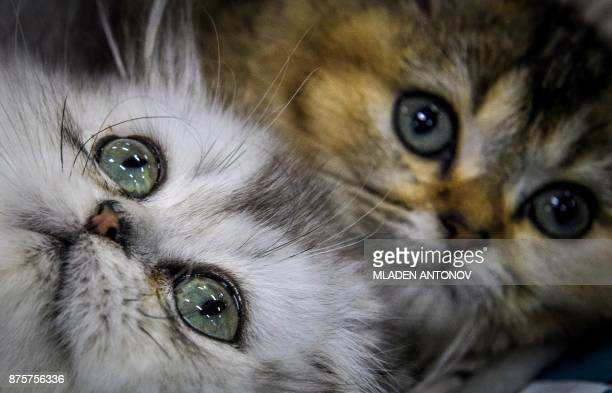 British longhair kittens are seen during the 'Valencia Cup' international cat exhibition in Moscow on November 18 2017 / AFP PHOTO / Mladen ANTONOV