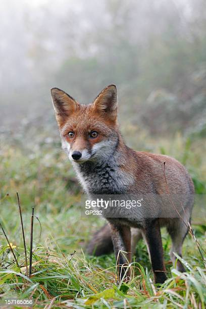British Red Fox in mist
