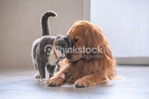 British short hair cat and golden retriever : Stock Photo