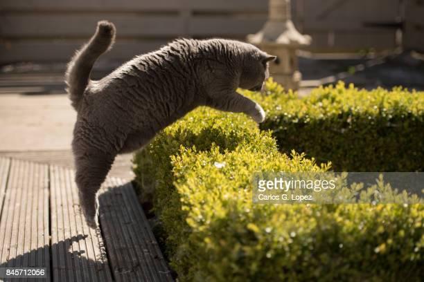British Short hair cat jumping over hedge on Zen Garden