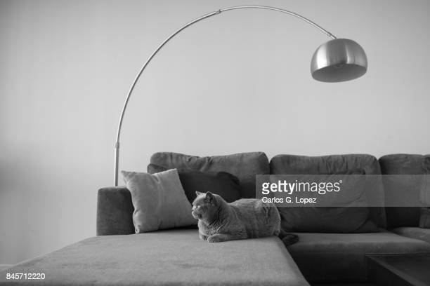 British Short hair cat lying on couch under a modern lamp