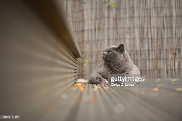 British Short Hair cat lying on garden deck with leaves looking away