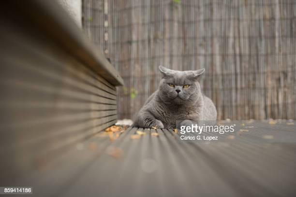 British Short Hair cat lying on garden deck with leaves