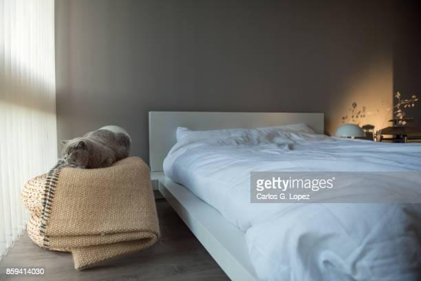 British Short Hair cat lying on rug near bed