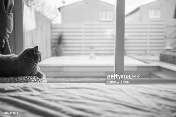 British Short hair cat lying on stool next to bed overlooking zen garden