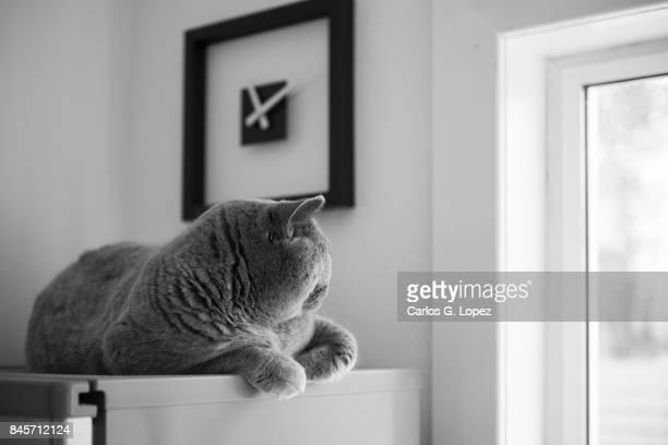 British Short hair cat lying on top of fridge under a modern clock