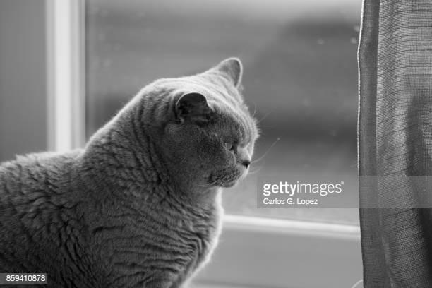 British Short hair cat sitting near curtain and glass door