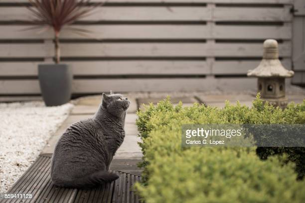 British Short hair cat sitting on zen garden looking up at tree