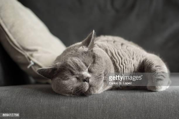 British Short hair cat sleeping near cushion on couch