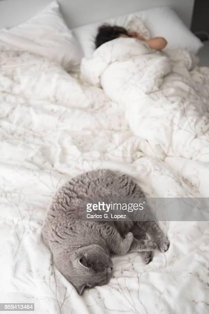 British Short Hair cat sleeping next to girl on bed