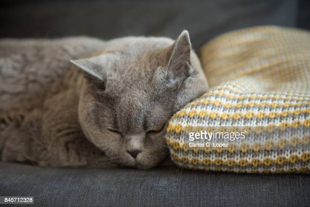 British Short hair cat sleeping on couch with head resting on blanket