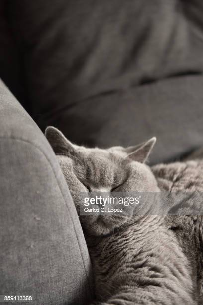 British Short hair cat sleeping on couch with squashed face