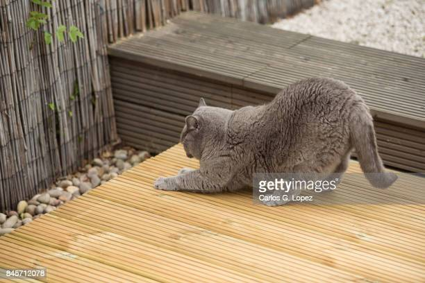British Short hair cat stretches and scratches wooden deck