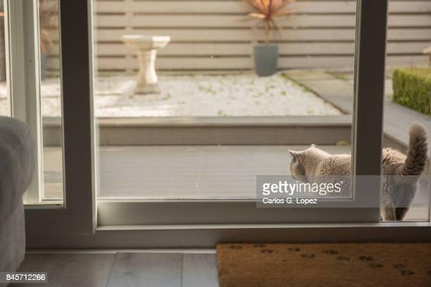 British Short hair cat walking out to a zen garden through patio door