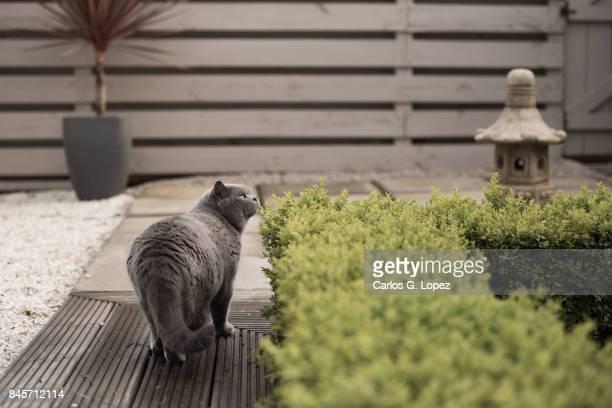 British Short hair cat walks beside beside hedge and looks up