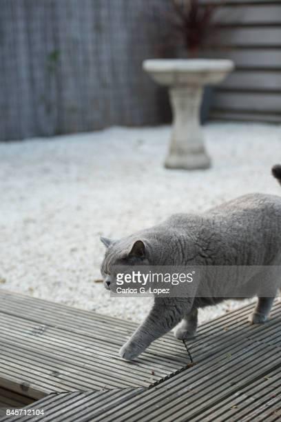 British Short hair cat walks on wooden deck with bird bath on the background