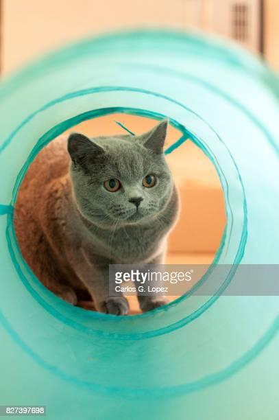 British Short Hair kitten looks through a cat tunnel