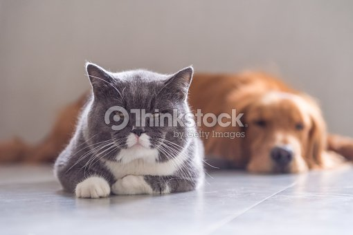 British Shorthair Cat And Golden Retriever Stock Photo | Thinkstock