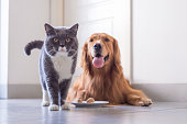 British shorthair cat and Golden Retriever