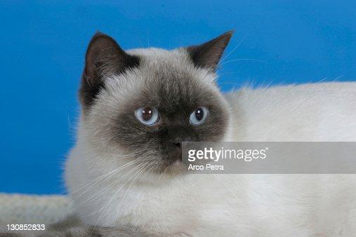 British Shorthair Cat, chocolatepoint