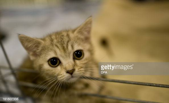 British shorthair cat 'Emma' looks out of her cage at the pet trade shows in Dresden eastern Germany on September 07 2012 The pet trade show takes...