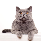 Surprised British Shorthair cat isolated on white.