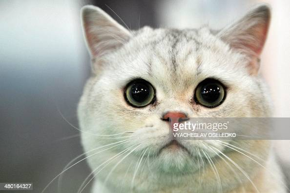 A British Shorthair cat looks on during a cat exhibition in Bishkek on March 23 2013 Cat lovers from Kyrgyzstan Kazakhstan and Uzbekistan took part...