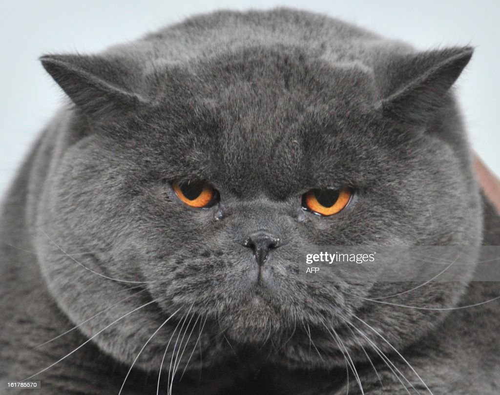 A British Shorthair cat looks on during a cat exhibition in the Kyrgyzstan's capital Bishkek on February 16, 2013. Cats owners from Kyrgyzstan, Kazakhstan and Uzbekistan gathered today in Bishkek to show off their pets.