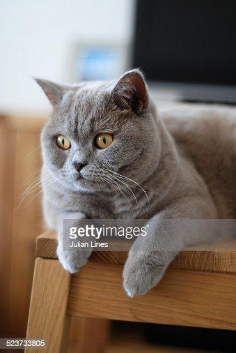 British Shorthair cat lying on stool