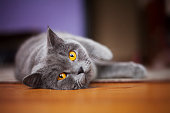 British Shorthair Cat lying on the floor