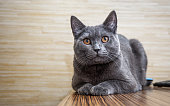 British shorthair cat lying on wooden table on wooden wall background with copy space