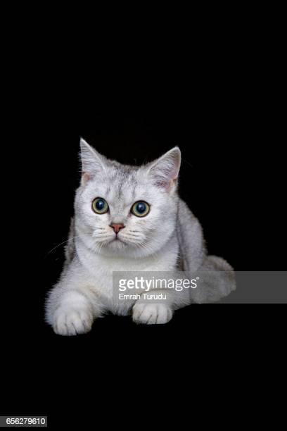 British shorthair cat on black background