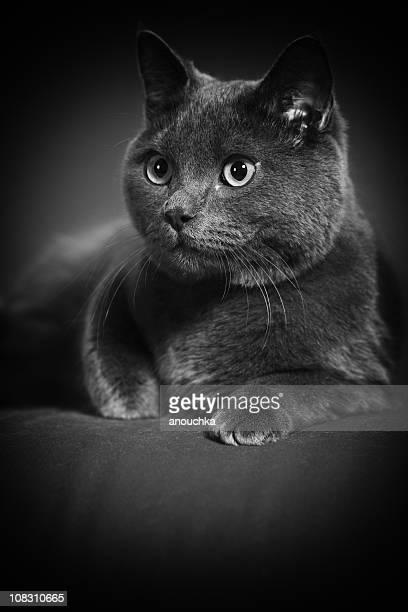 British Shorthair Cat Retrato