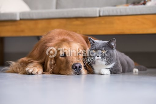 British Shorthair Cats And Golden Retriever Stock Photo - Thinkstock