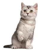 British Shorthair kitten, four months old, sitting in front of white background.