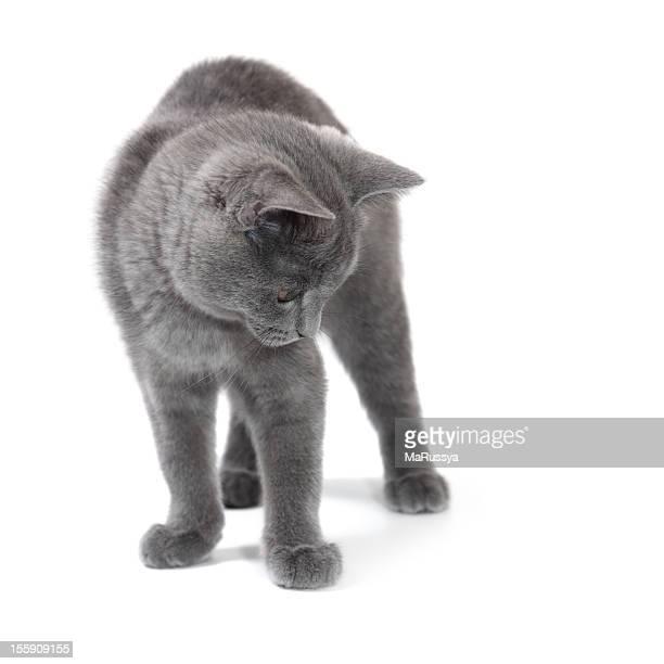 British shorthair kitten looking down, 4 months old.