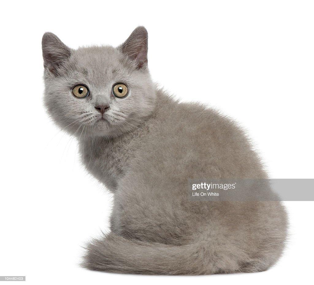 British Shorthair Kitten : Stock Photo
