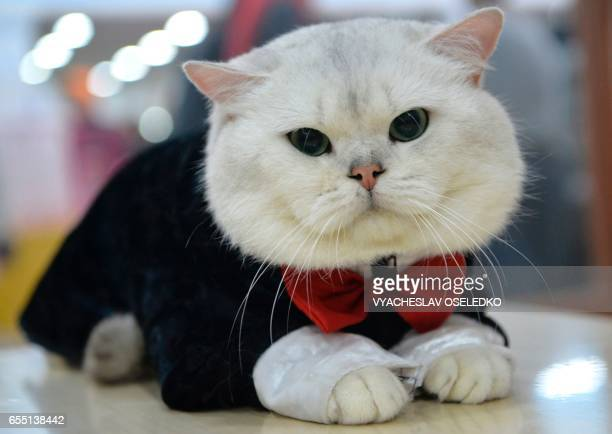 A British Shorthair wearing a costume is pictured during the International cat exhibition in Bishkek on March 19 2017 / AFP PHOTO / VYACHESLAV...