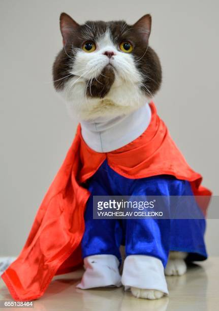 A British Shorthair wearing a Superman's costume is pictured during the International cat exhibition in Bishkek on March 19 2017 / AFP PHOTO /...