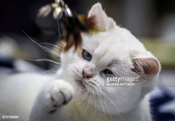 A British shorthair white cat plays with a toy during the 'Valencia Cup' international cat exhibition in Moscow on November 18 2017 / AFP PHOTO /...
